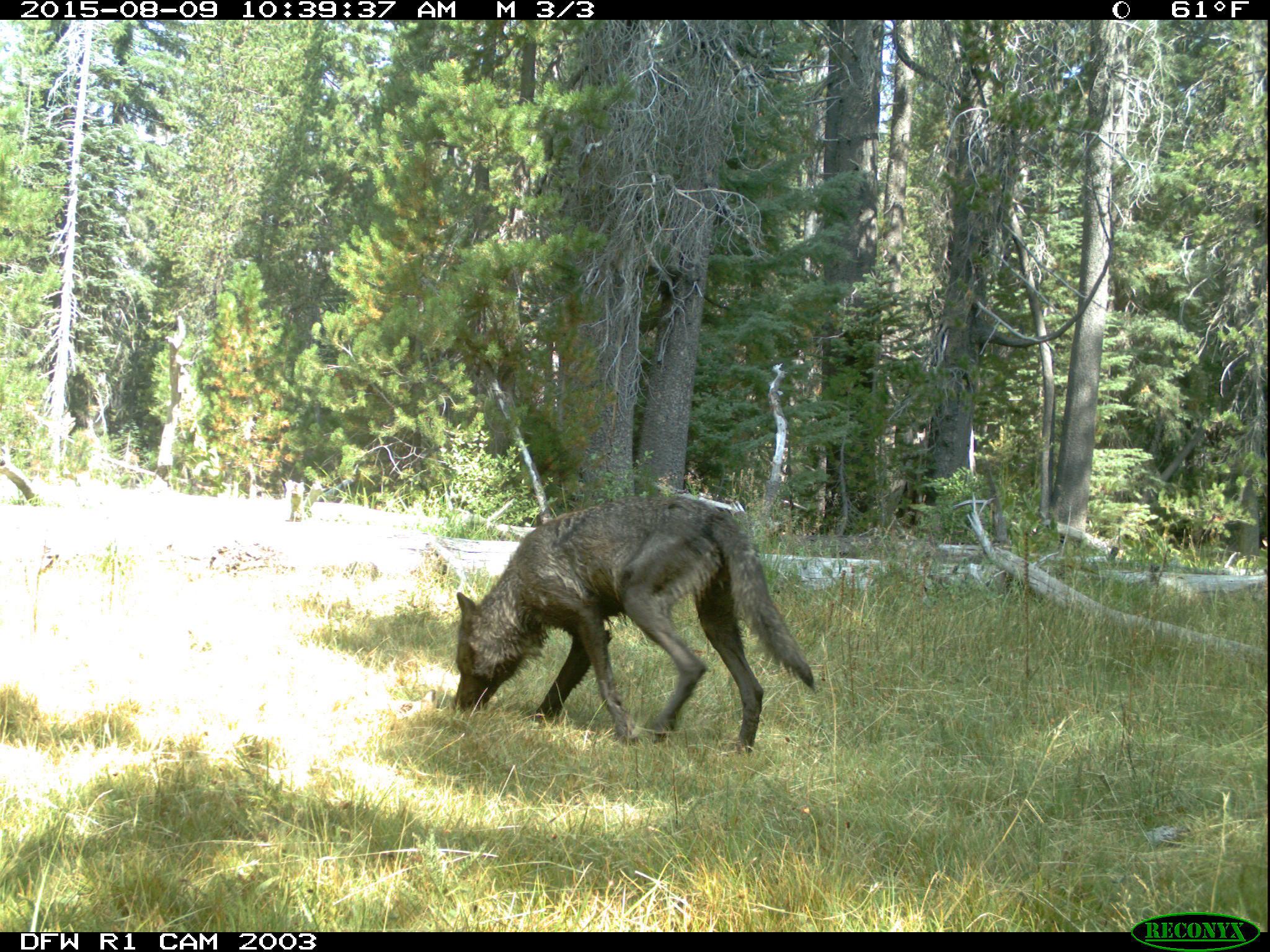 wolf-1-1
