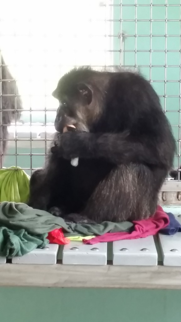 Henrietta the chimp treats doll like her baby