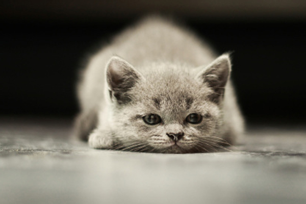 long-haired-grey-cat