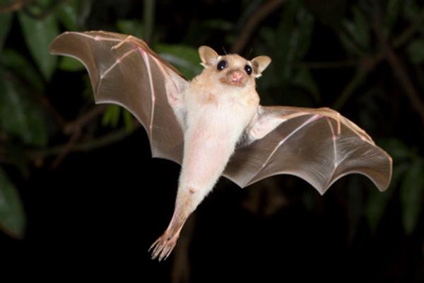 dwarf-epauletted-bat