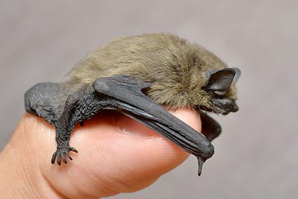 pipistrellus-pipistrellus-bat