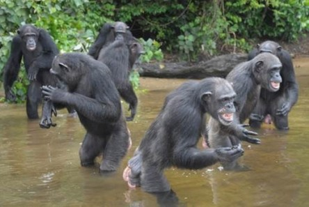 The chimpanzees were desperate for food when rescuers arrived.