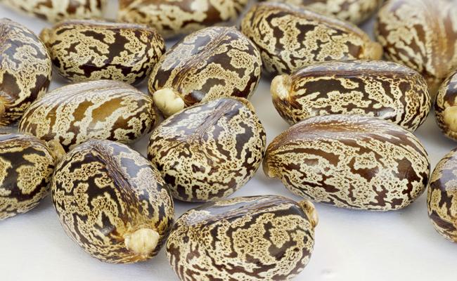 Castor-Oil-Seeds