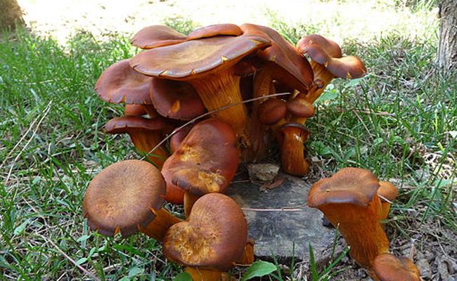 Jack_O'Lantern_Mushroom_(Omphalotus_olearius),_2009-104-(1)