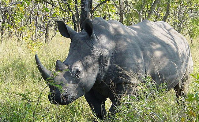 rhino-in-Kruger-Park,-South-Africa