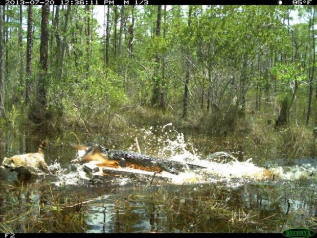 An alligator goes after a raccoon in the Everglades. Photo credit: Florida Fish and Wildlife Conservation Commission
