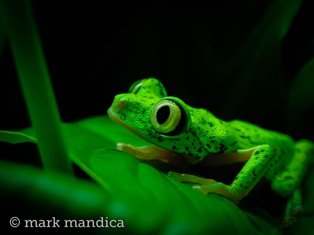 Lemur Leaf Frog, Agalychnis lemur; Photo Credit: Mark Mandica