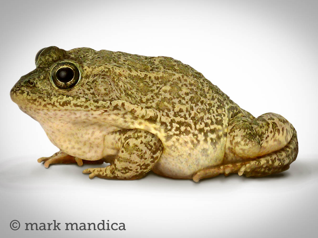 Carolina Gopher Frog, Lithobates capito;Photo Credit: Mark Mandica