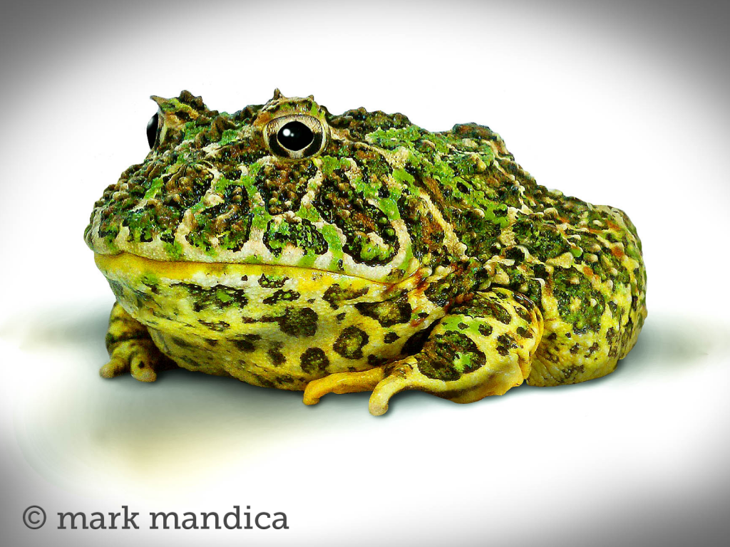 meet 10 stunning frogs whose populations are dwindling care2 causes