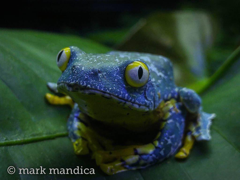 Fringed Leaf Frog, Cruziohyla craspedopus; Photo Credit: Mark Mandica