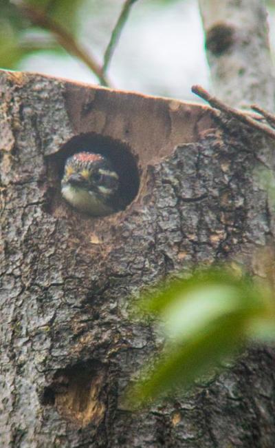 baby-woodpecker