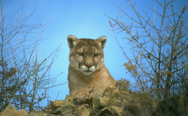 Southern California mountain lion