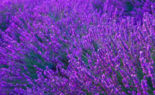 Lavendar-in-Provence