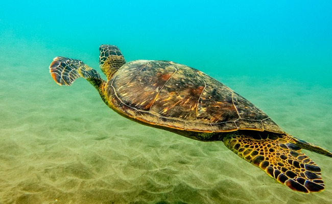 A sea turtle in clear blue maui waters.