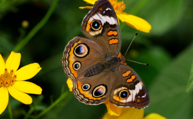 common-buckeye-butterfly