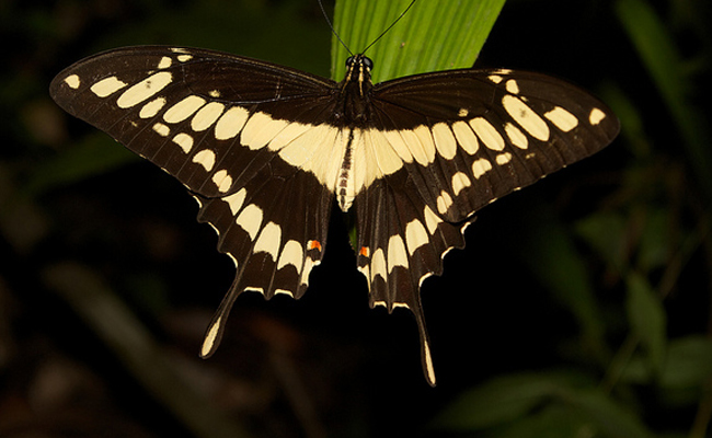 giant-swallowtail-butterfly