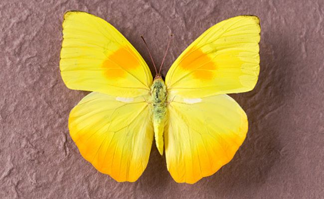 orange-barred-sulphur-butterfly