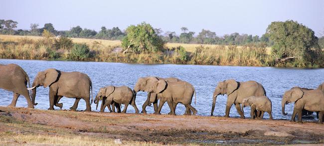 Herd of elephants (Loxodonta africana) walking along shore