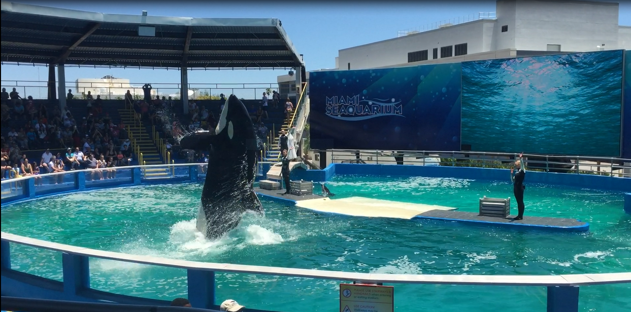Lolita at Miami Seaquarium courtesy In Defense of Animals and Paul Derdzinski 1