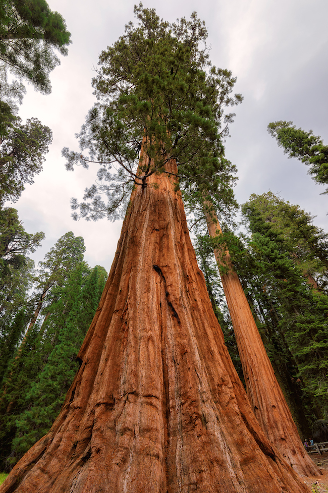 Giant sequoia forest in Sequoia National Park |   50 Benefits of Trees