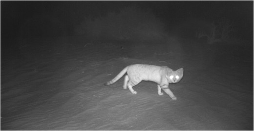 Figure-2-Image-of-sand-cat-captured-in-Baynouna-protected-area-by-camera-trap-number-1
