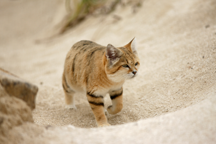 Arabian sand cat, Felis margarita harrisoni