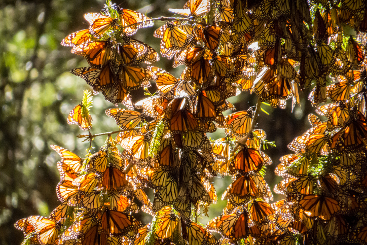 Monarch Butterflies on tree branch in Michoacan, Mexico