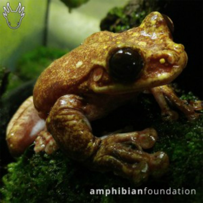 Photo Credit: The Amphibian Foundation