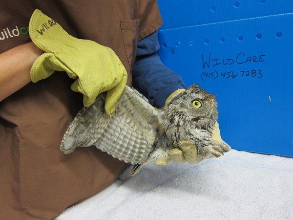 The owl is thoroughly examined for injuries.