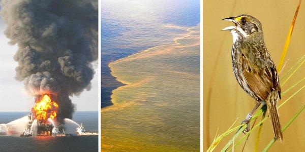 Seaside sparrows and BP Deepwater Horizon oil