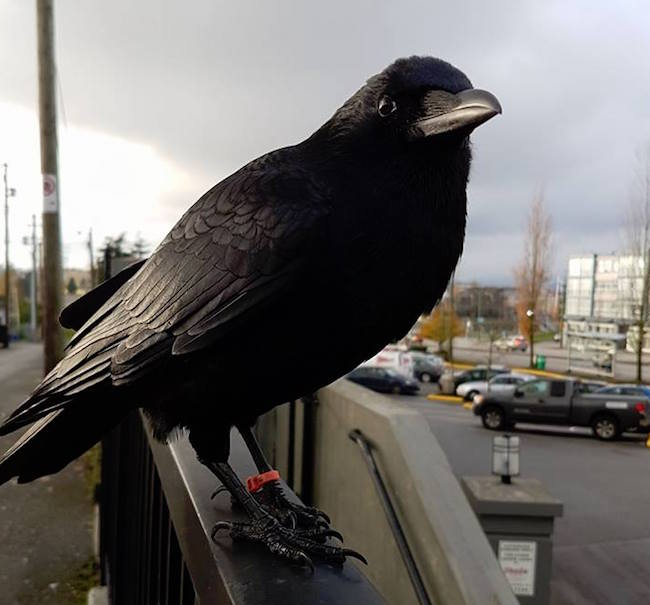 Canuck the famous crow