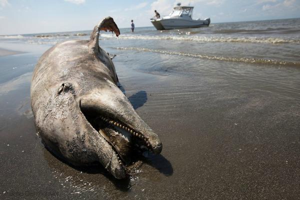 dolphin death BP oil