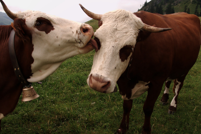 A cow playfully licking a friend.