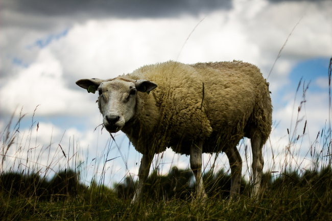 A sheep standing in a meadow.