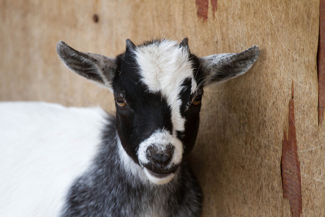 A goat looking skeptical.