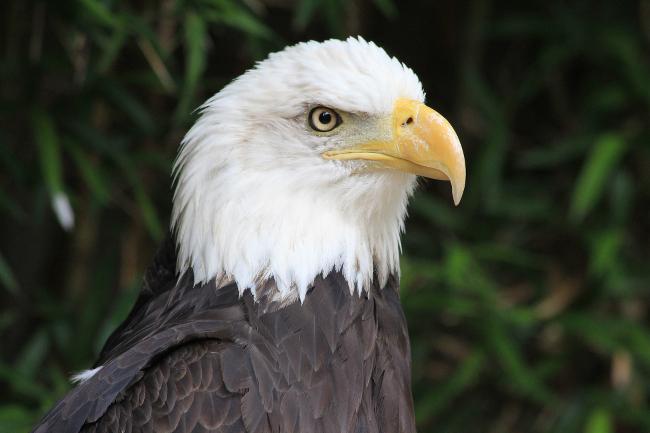 An eagle.