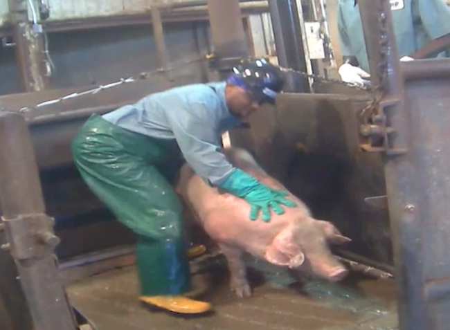 Worker lifts a down pig that can't walk by itself.  Photo credit: Compassion Over Killing