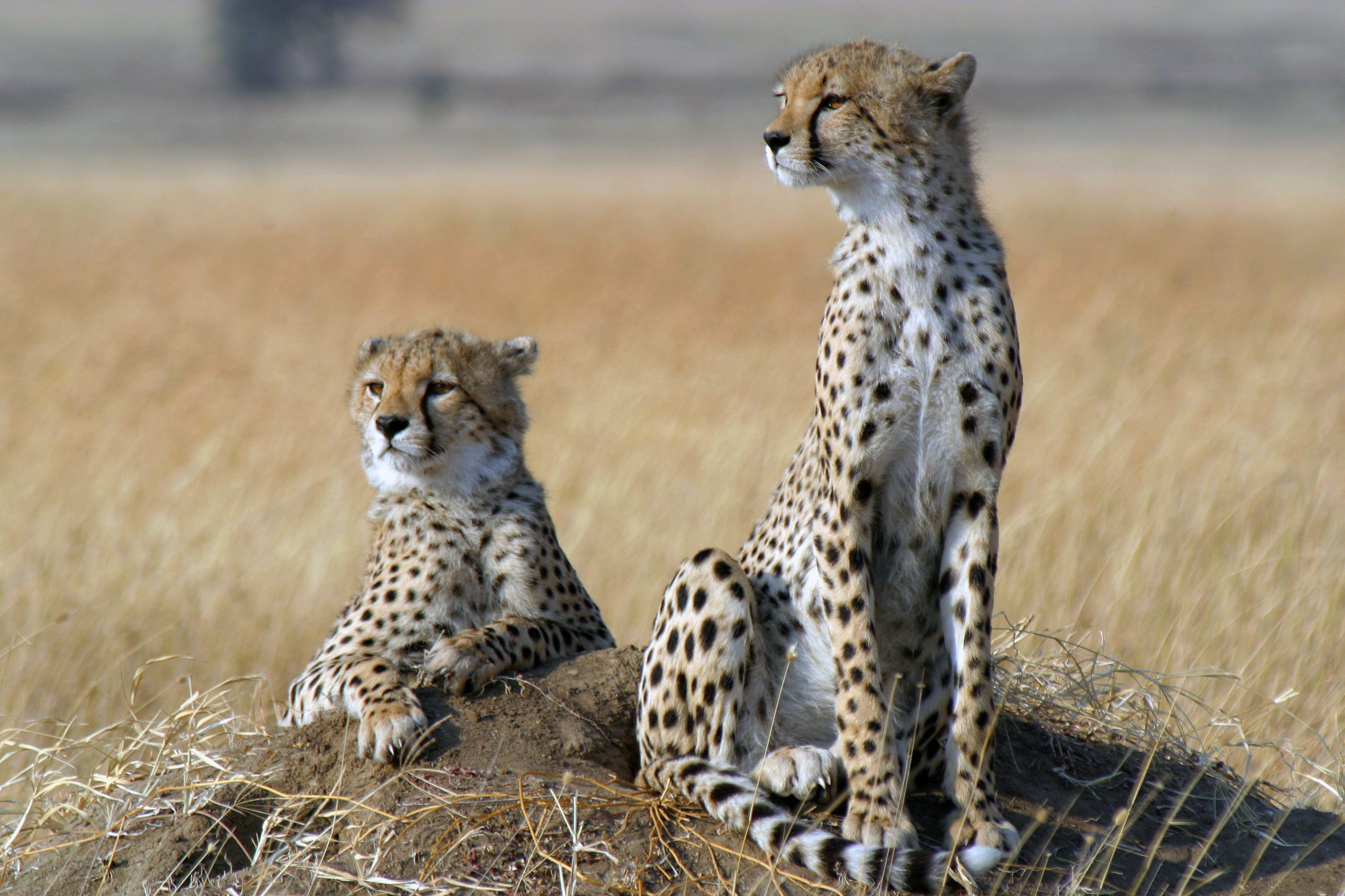 Tanzania Cheetah Conservation Program