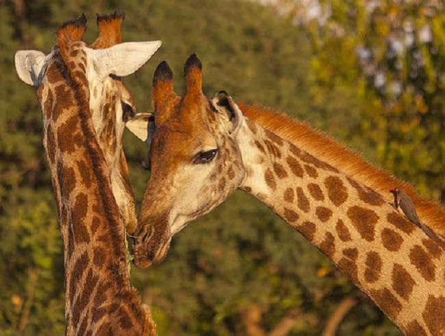 male and female giraffes courting