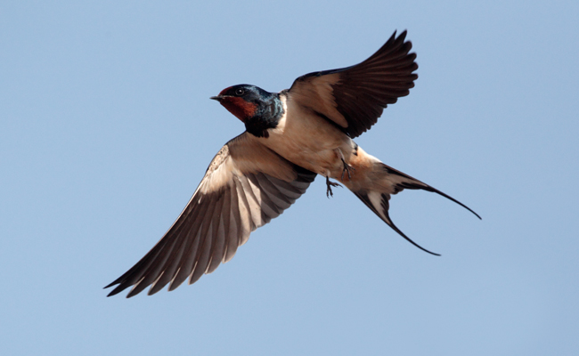 british-swallow