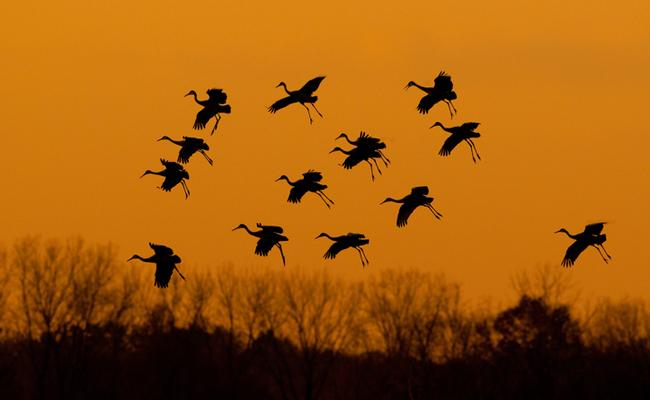 migrating-sandhill-cranes