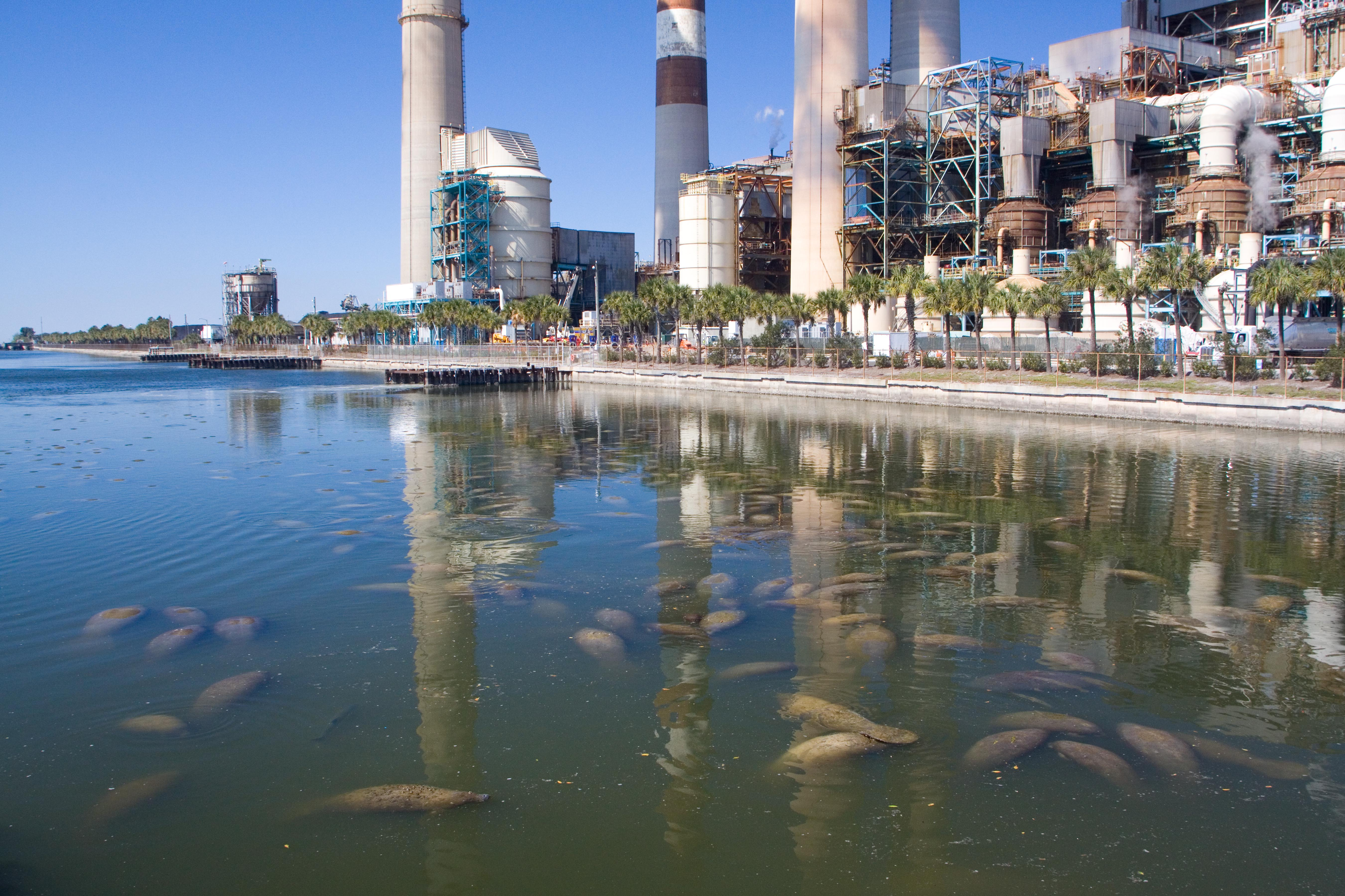 Manatees at the TECO Powerplant by David Schrichte (1)