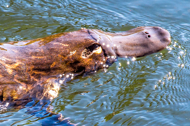 swimming platypus