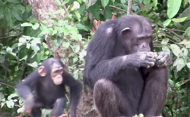 liberia-chimps