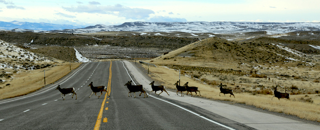 Deer crossing on U.S. Highway in Wyoming