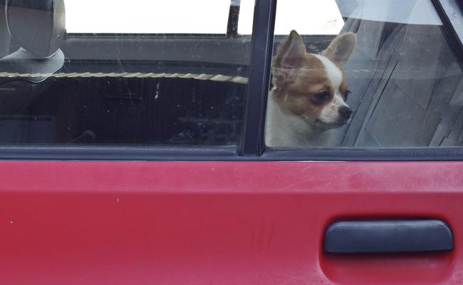 little-dog-in-hot-car