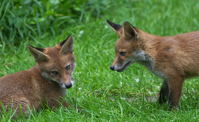 mother-and-baby-fox
