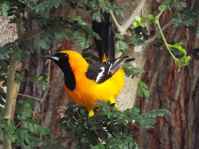 A black and yellow bird perched on a branch.