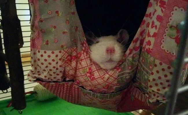 rescued rat