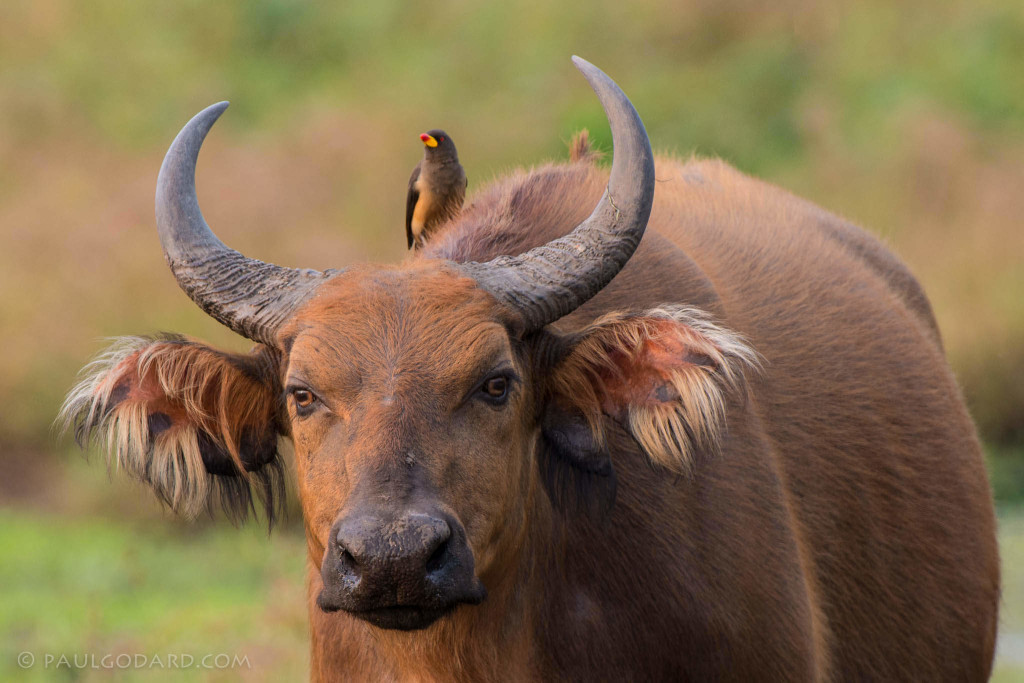 African oxpecker